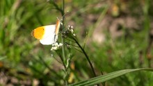 Orange Tip Butterfly Close Up ...
