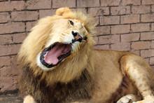 Male Roaring Lion Lying Down I...