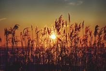 Setting Sun Shining Though Reeds