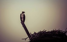 Low Angle View Of Osprey Perching By Nest Against Sky