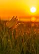 Wild yellow tulip in field on Crimea. Sunset