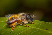 Close Up Of An Insect Red Mason Bee