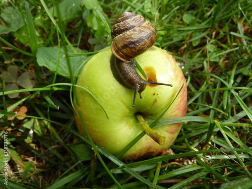 Fototapeta Ślimak jedzący jabłko w sadzie obraz