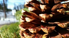 Close-up View Of Pine Cone