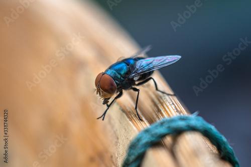 Close up flies Flies spreading germs Canvas-taulu