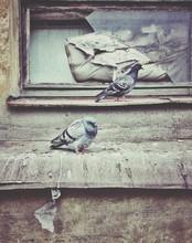 Pigeons Perching On Broken Window Sill