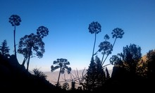 Low Angle View Of Silhouette Cow Parsley Blooming In Field Against Clear Sky