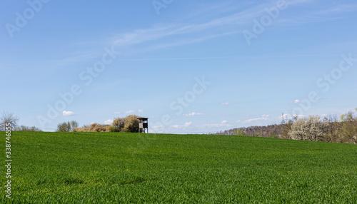 Fototapeta Sloneczny krajobraz. Wiosna na wsi. Wschodzace zboze. Mlode zboze na polu.  Czyse i puste pole. pod lasem.  Zilone pole pod nibiueskim niebem. obraz
