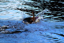 Duck Splashing In Water