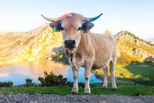 Asturian Mountain Cattle Cow S...