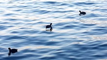 Coots Swimming In Water