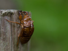 Close-up Of Cicada Exoskeleton...