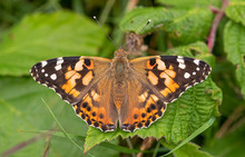 Painted Lady Butterfly On Leaf