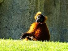 Portrait Of Lemur Relaxing On Grassy Field