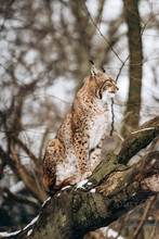 Lynx Climbs Trees On A Sunny Winter Day