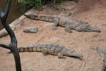 Side View Of Alligators On Sand