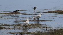 Seagulls And Black-necked Stilt At Lakeshore