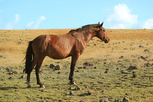One Brown Wild Horse In The Fi...