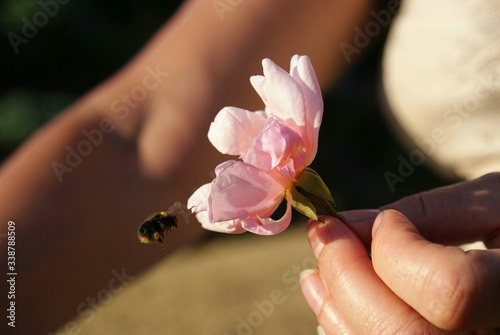 Obraz Cropped Image Of Woman Holding Pink Flower While Honey Bee Buzzing Around It - fototapety do salonu