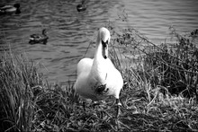 Close-up Of Swan By The Lake