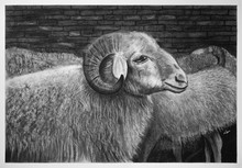 Charcoal Drawing - A Sheep Wai...