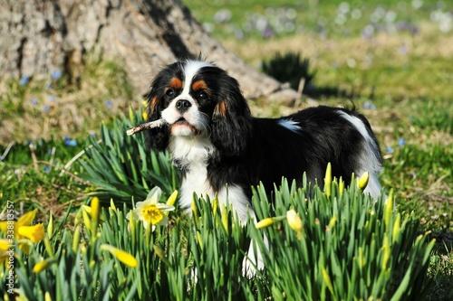 Valokuva Cavalier King Charles Spaniel On Grassy Field