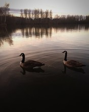 Canada Geese Swimming In Balderton Lake Against Sky