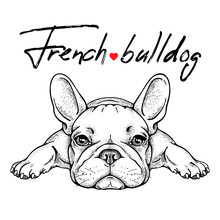 Cute French Bulldog Sketch. Ve...