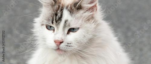 Bannière d'un portrait de chat angora blanc tigré en extérieur Canvas Print