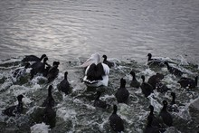 Pelican And Coots Swimming In Lake