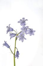 Bluebell Springtime Wild Flowe...