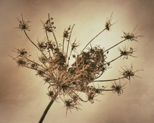 Close-up Of Dried Queen Annes Lace Flower