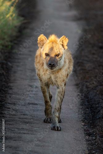 Obraz na plátně Spotted hyena walks down track towards camera