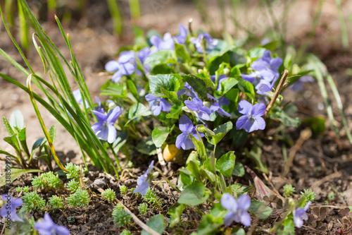 Fototapeta Fiołek pospolity, wonny Viola sororia, krzaczek z kwitnącymi kwiatami obraz