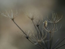 Close-up Of Dry Cow Parsley Flower