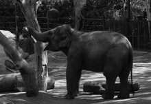 Elephant Playing With Log In Zoo