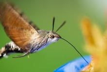 The Hummingbird Hawk-moth  Feeding On Spruce  Tips Left Rom Syrup Making.