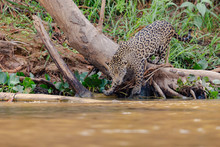 Jaguar Entering The Water From...