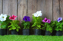 Petunias, Colorful Petunia Flo...
