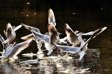 Seagulls In Lake