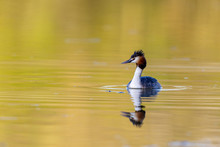 Great Crested Grebe (Podiceps ...