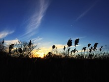 Silhouette Of Reeds Against Sky During Sunset