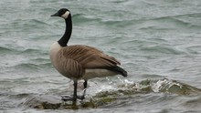 Canada Goose Standing On Rock Amidst Water