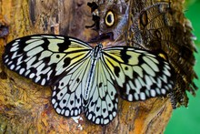 Close-up Of Paper Kite Butterfly Perching On Tree Trunk