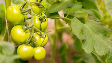 Tomato Plants In Greenhouse. G...
