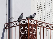 Two Pigeons On Iron Railing