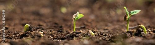 Photo una piantina di fagiolo cresce giorno dopo giorno nell'orto biologico