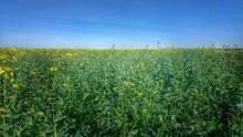 Yellow Wildflowers In Field