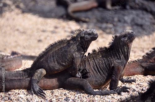 Fotografie, Obraz View Of Lizards Mating