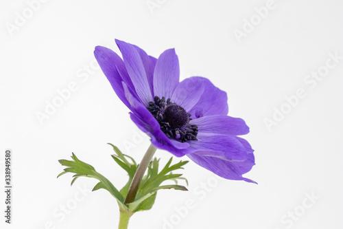 Photo Blue Anemone coronaria De Caen 'Mr Fokker'